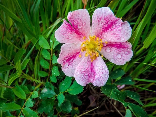 Wild rose nude Nude Photos 80